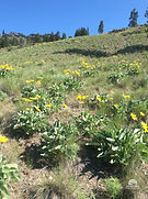 Arrowleaf balsamroot is a native plant_