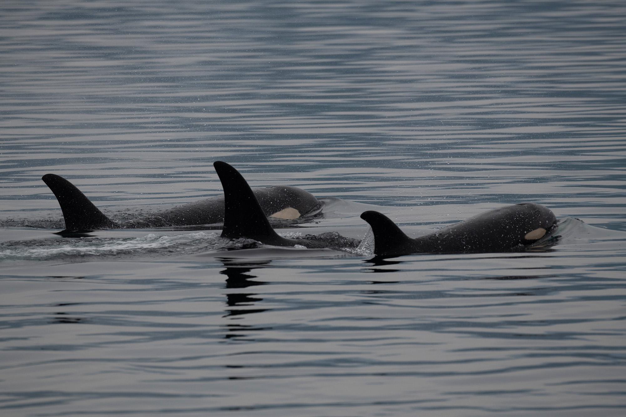 Three Orcas Surfacing