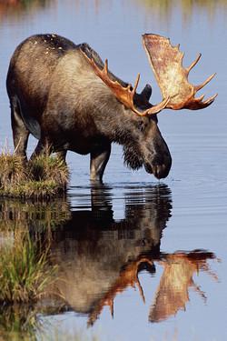 Bull Moose Reflection
