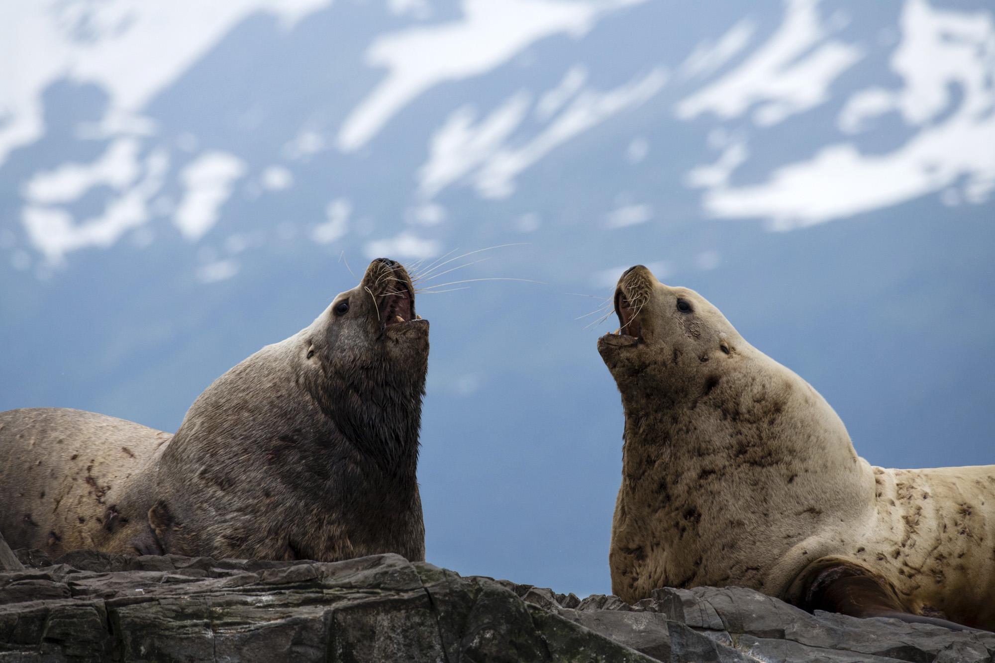 Two Sea Lions Barking