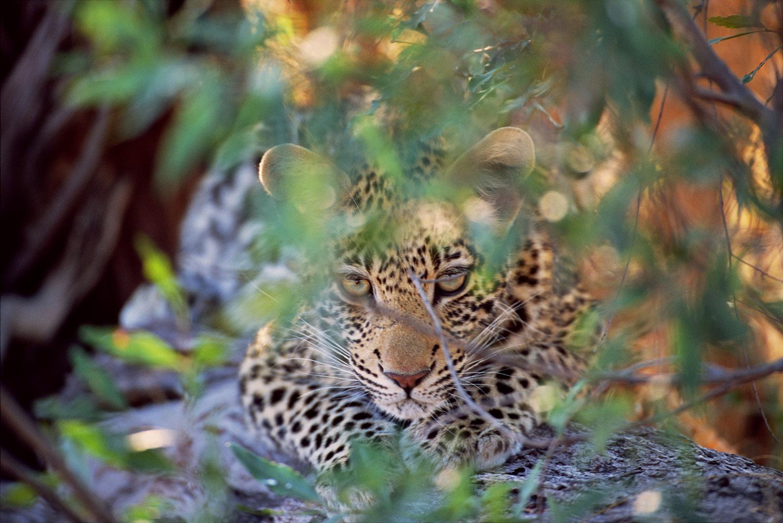 Leopard Hideout