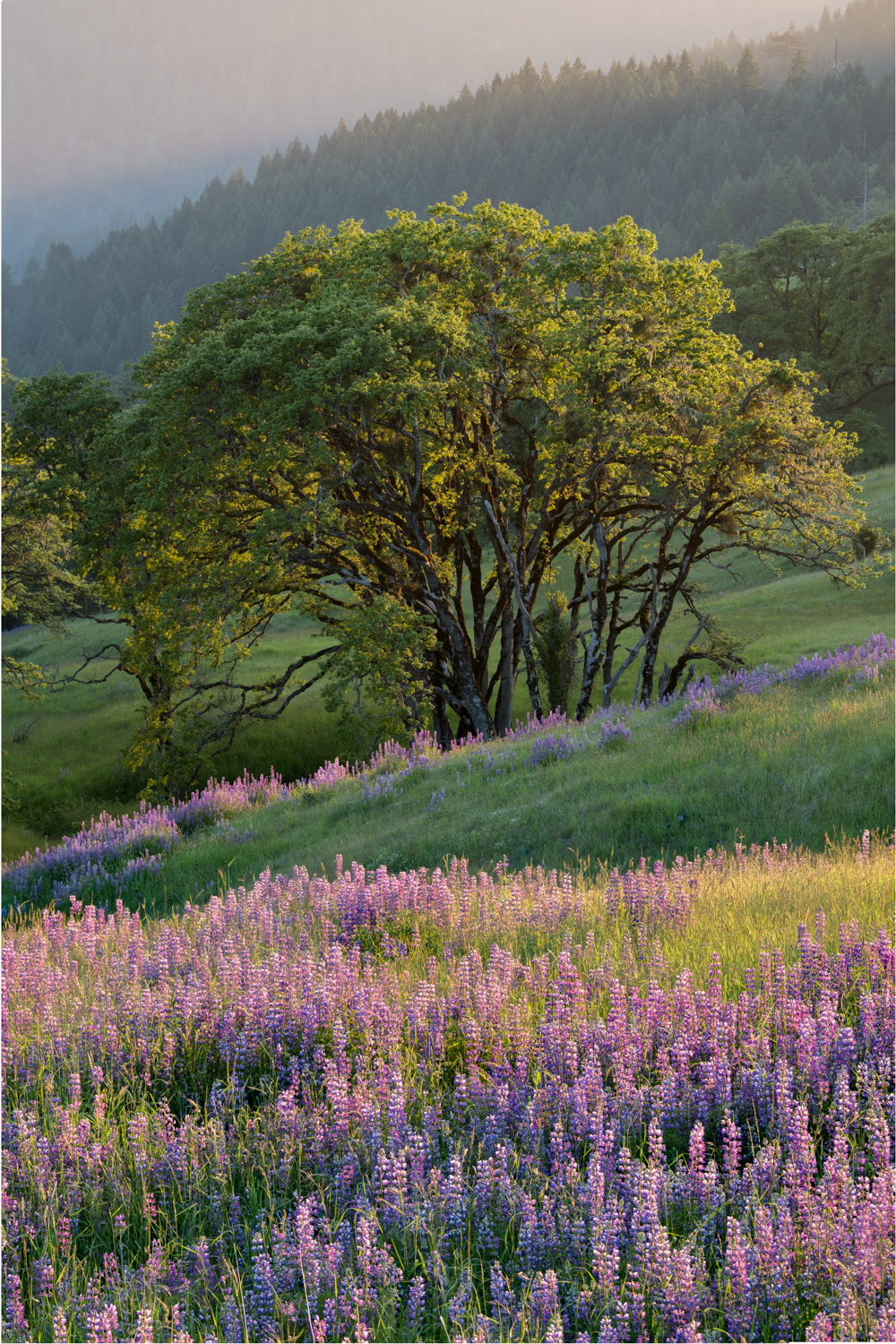 Evening Light - Lupines and Oaks
