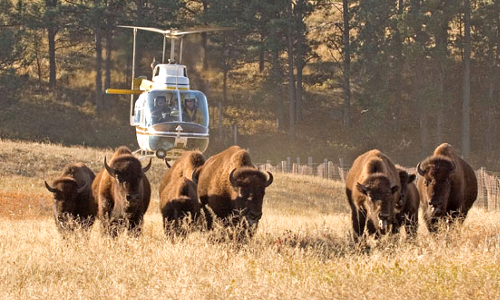Wild Bison being rounded up north of Yellowstone for slaughter by the state of Montana