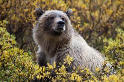 Willow Bear