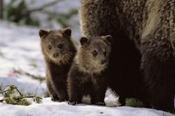 Spring Cubs