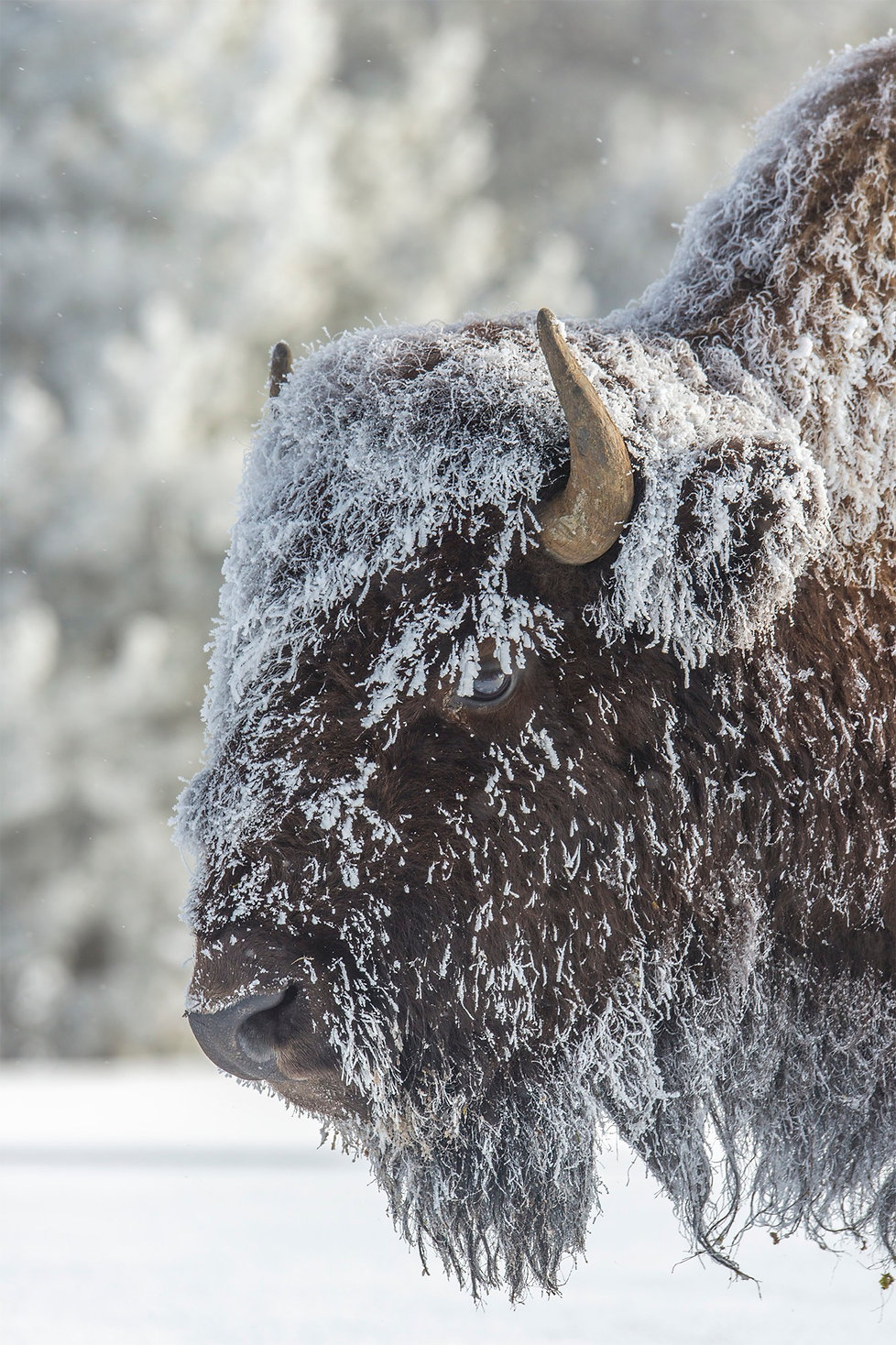 New release photograph of a spectacular frost covered bison in the Yellowstone winter.