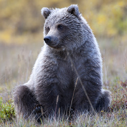 Tundra Cub