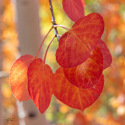 Hanging Red Aspen Leaves