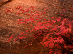 Maples and Sandstone