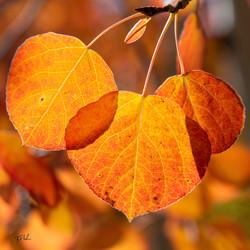 Aspen Leaf Trio