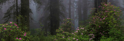 Springtime in the Redwoods