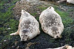 Sea Lions Napping