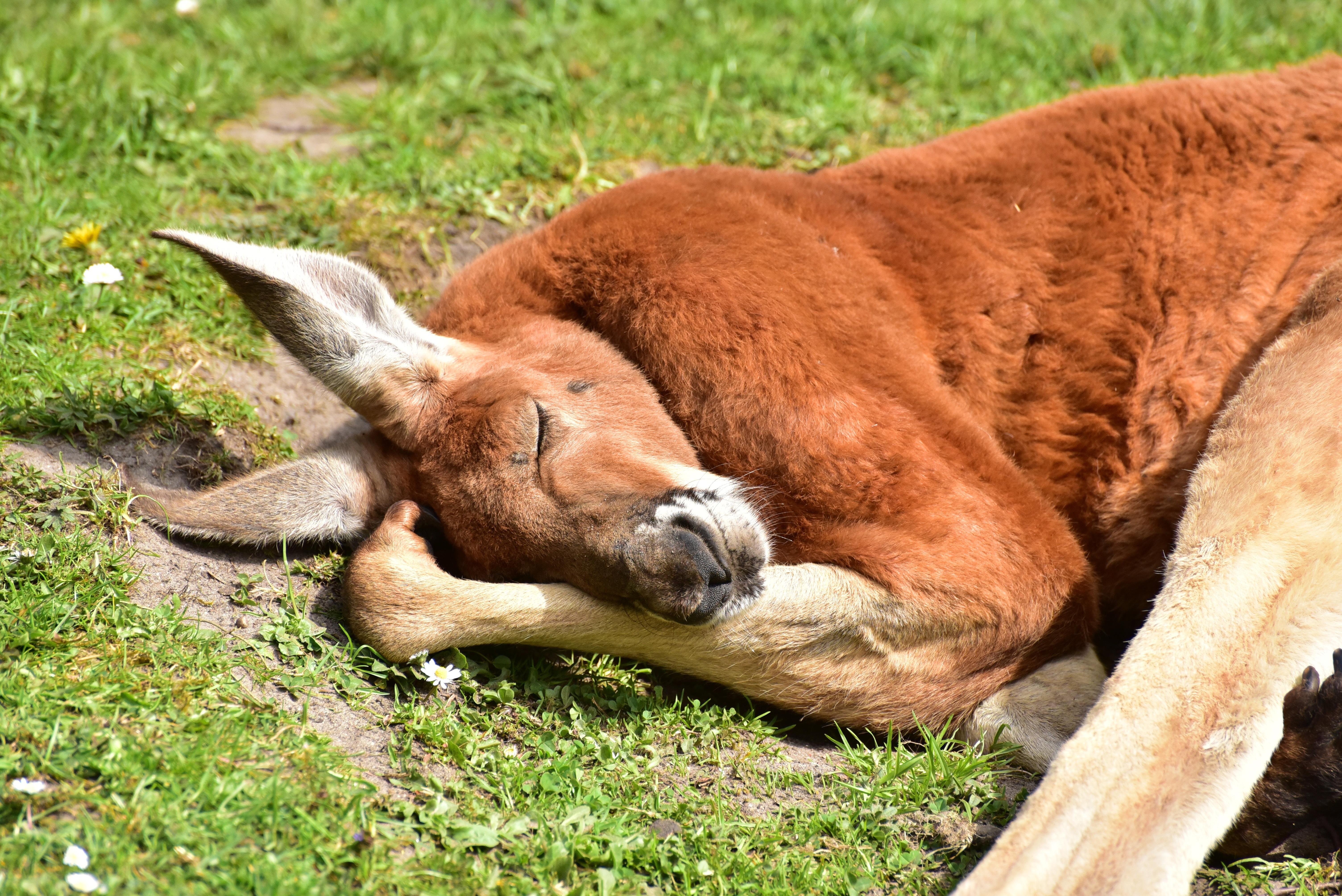 kangaroos-750853