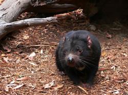 tasmanian-devil-164509