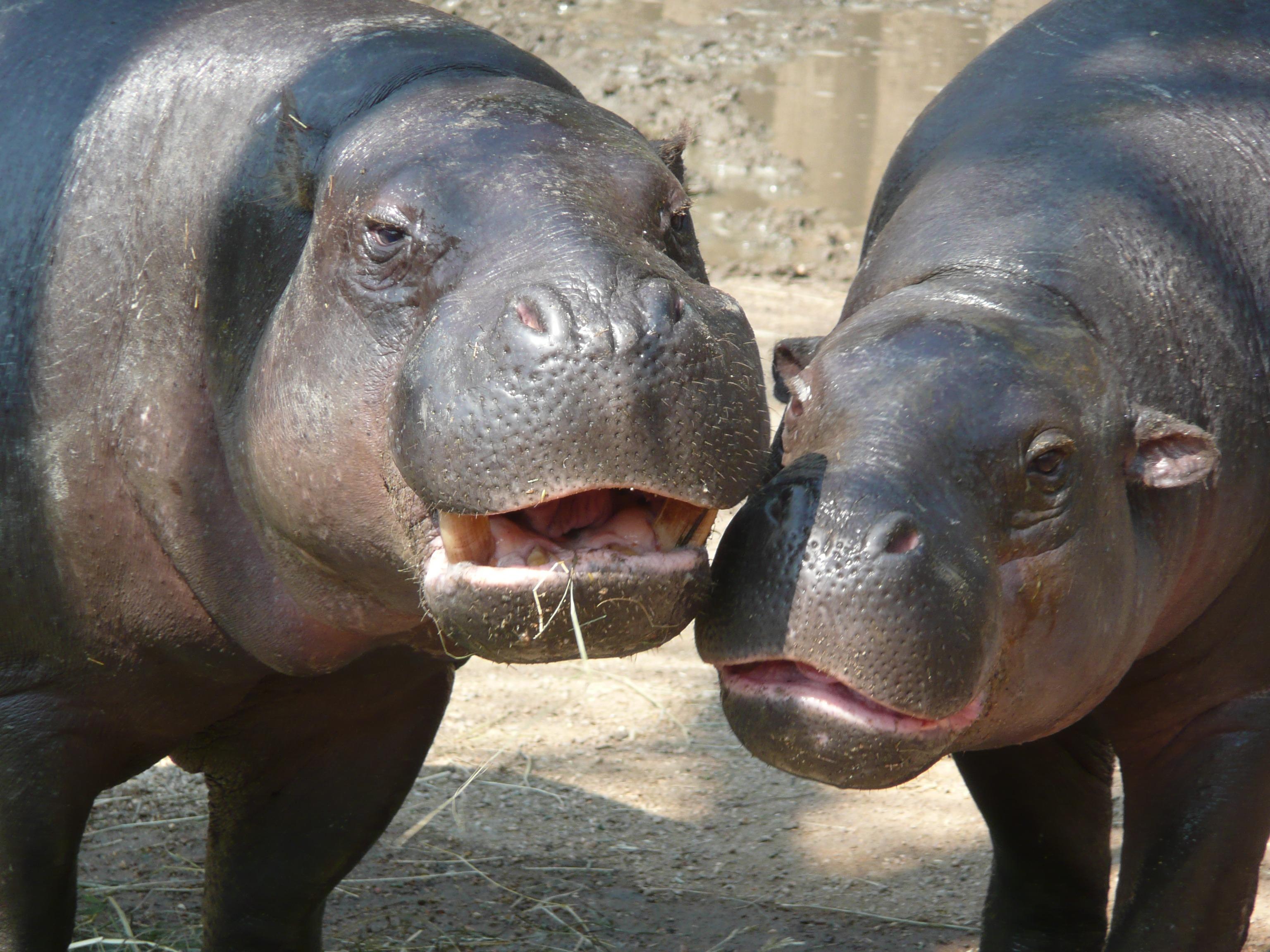 hippo-20965