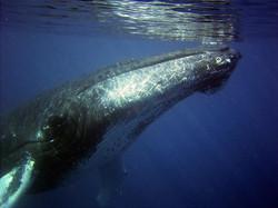 humpback-79855