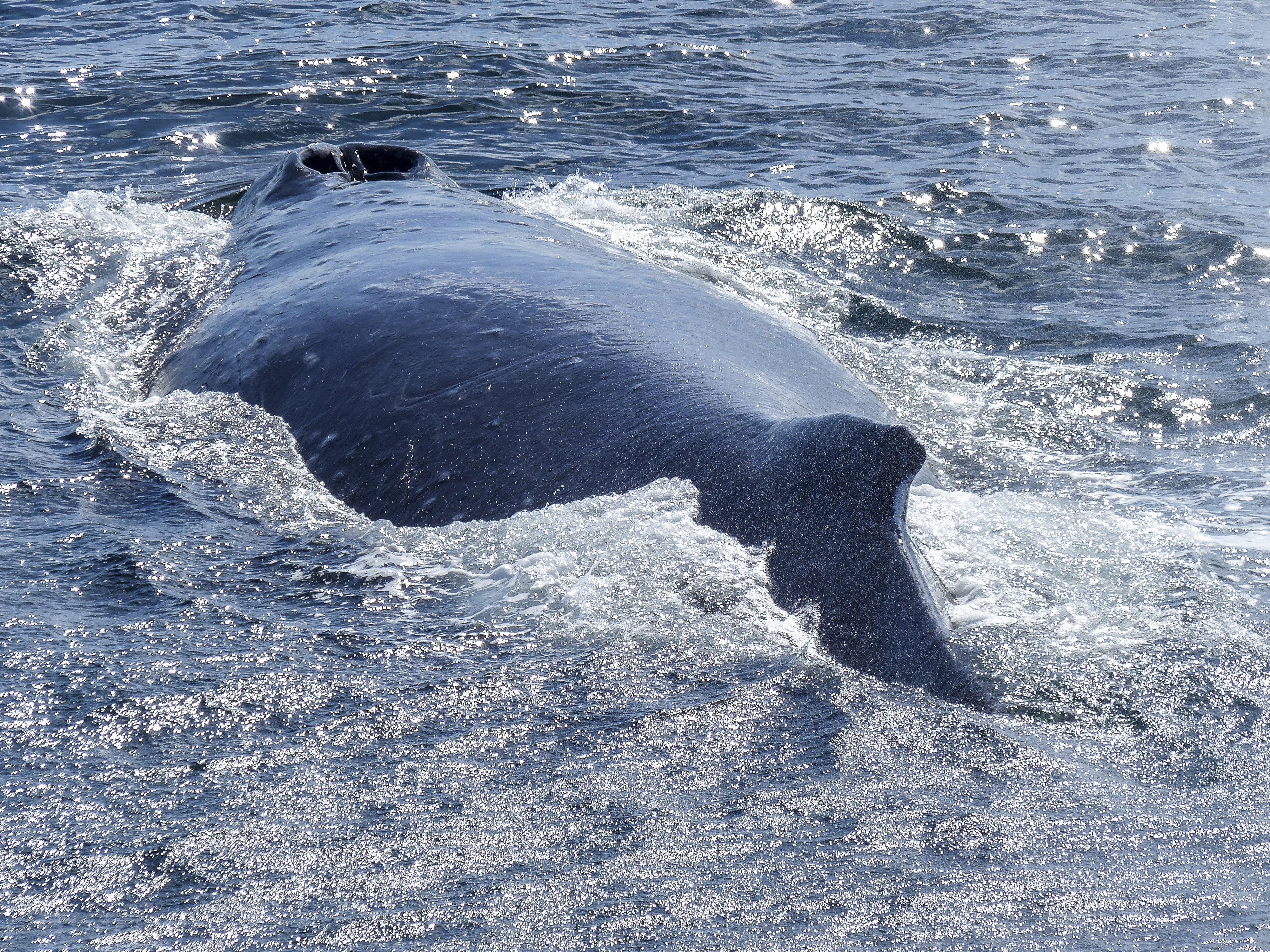 humpback-whale-436107
