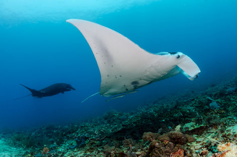 Chevron & black moprh mantas side by side- very common occurence here.jpg