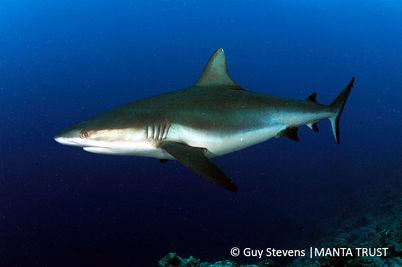 Grey Reef Shark, Yap Proper, Micronesia _ Guy Stevens Manta Trust 2016.JPG