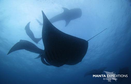 Whale shark and Manta_Conny Paul.jpg