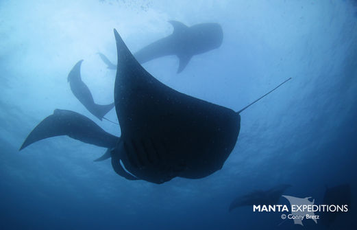 Whale shark and Manta_Conny Paul.jpg