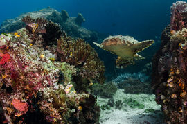 Wobbegong moving- uncommon to see!.jpg