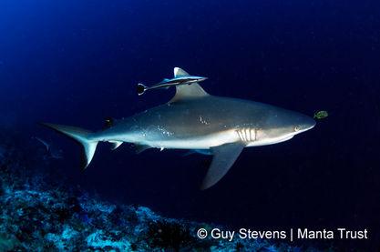 Grey_Reef_Shark,_Rasdhoo_Madivaru,_Rasdu_Atoll,_Maldives_©_Guy_Stevens,_Manta_Trust_2013.JPG