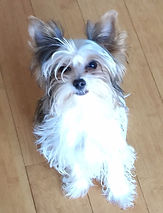 Georgia Yorkie puppies, Yorkshire Terriers, Georgia breeder, AKC Yorkshire Terriers in Georgia, yorkie puppies Ga, Al, TN, SC, FL, OH, KY, MS, MO, MD, IN, NY, NC, yorkie breeders in Georgia, teacup yorkies, babydoll faces, yorkies with baby doll faces