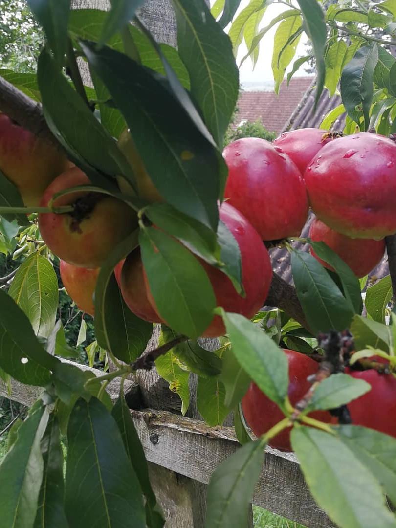 Für unser Aprikosensorbet im Sommer