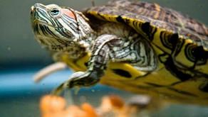 Care of Aquatic Turtles