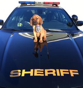 Bloodhound Puppy on car (1)