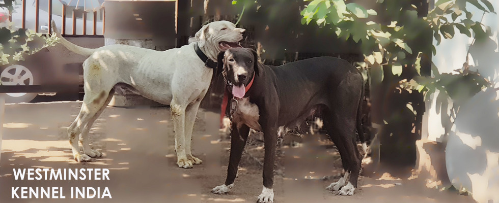Westminster Kennel India
