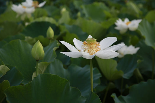 lotus-4312142_1920.jpg