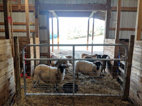 1 Sheep, 2 Sheep, 3 Sheep, 4
