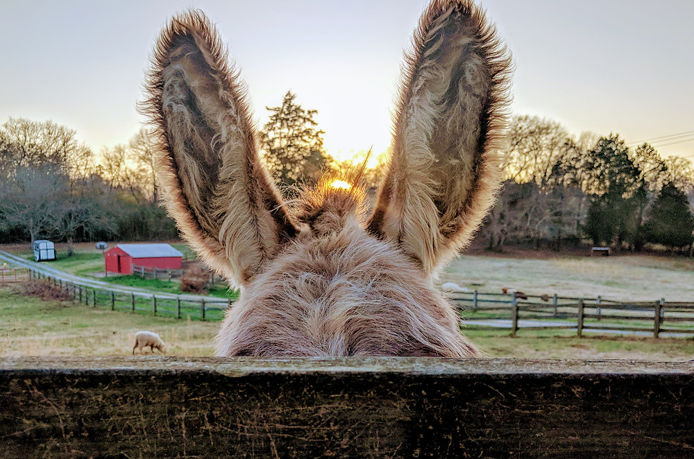 donkey, ears, sunset, farm, sheep