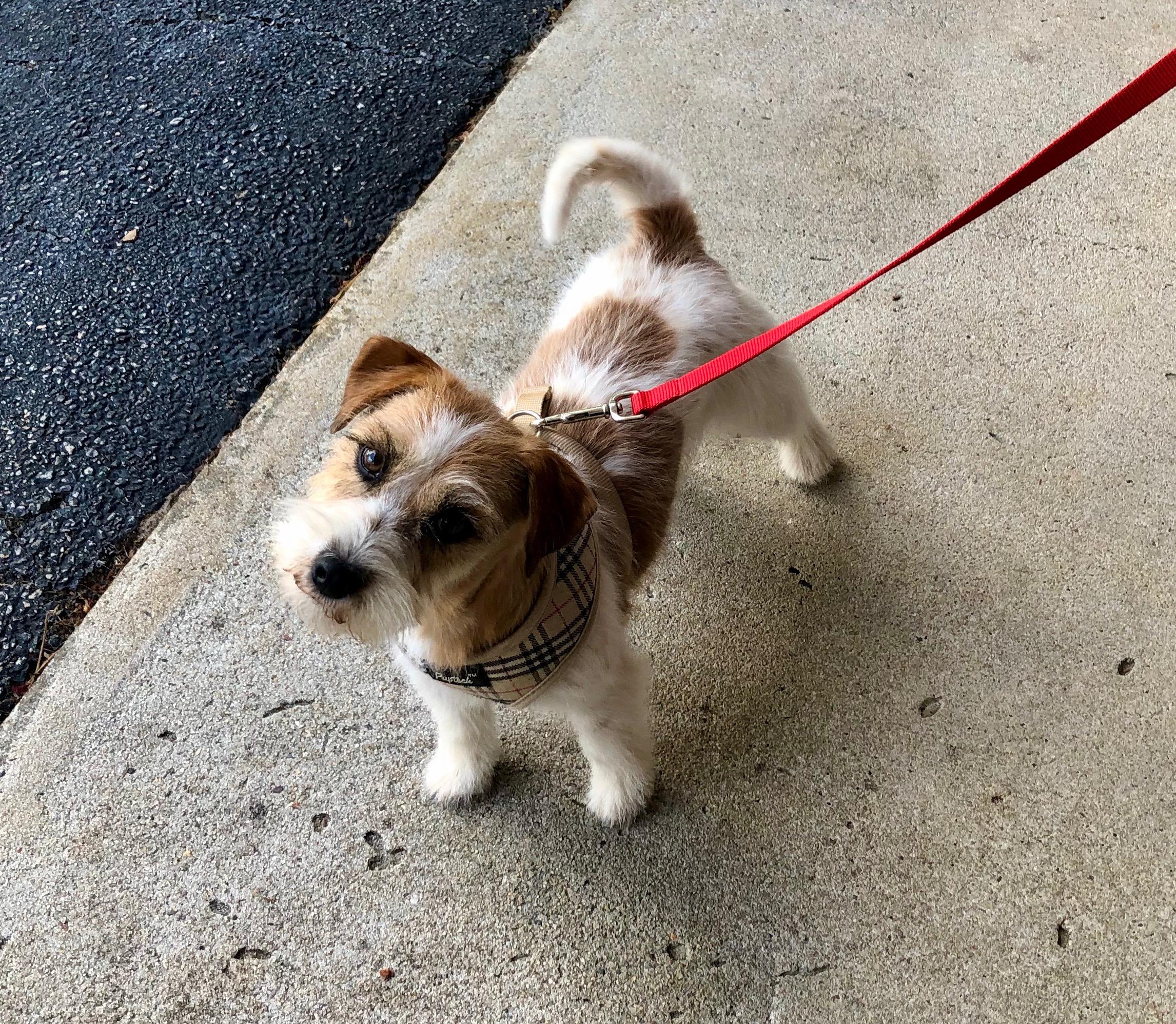 Russel Terrier