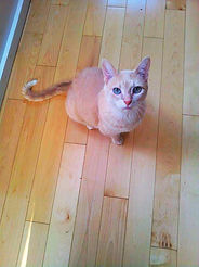 Ginny, a cream tabby, is a very sweet girl!