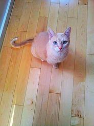 Ginny, a cream tabby, is a very sweet girl!