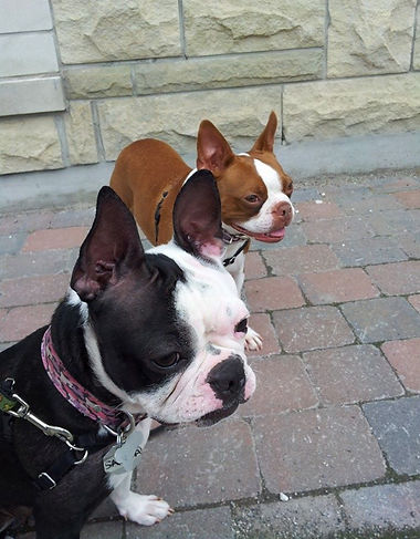 Two Boston Terriers, walked by Paisley Dog & Cat Services
