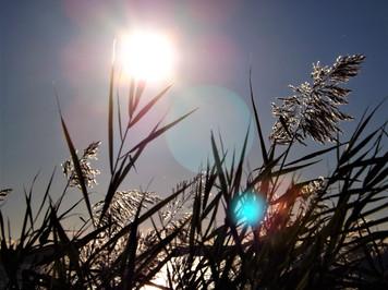 Montauk Grass