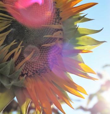Mattituck Sunflower