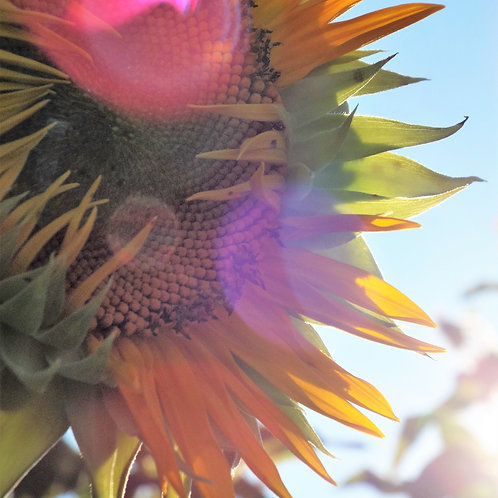 Mattituck, Sunflower Field Close Up - Metal - See With My Heart Photography