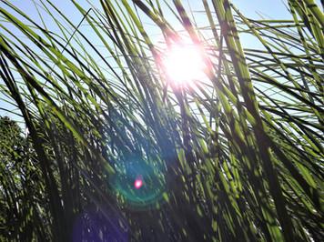Grass Aquebogue