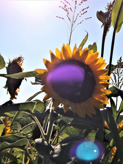 Mattituck Sunflowers - Matted - See With My Heart Photography