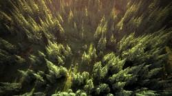 Pine Forest Flyover