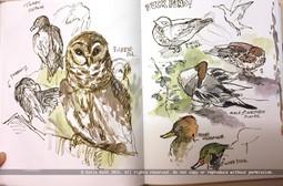 Barred Owl, Ducks
