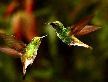 hummingbirds flying.jpg