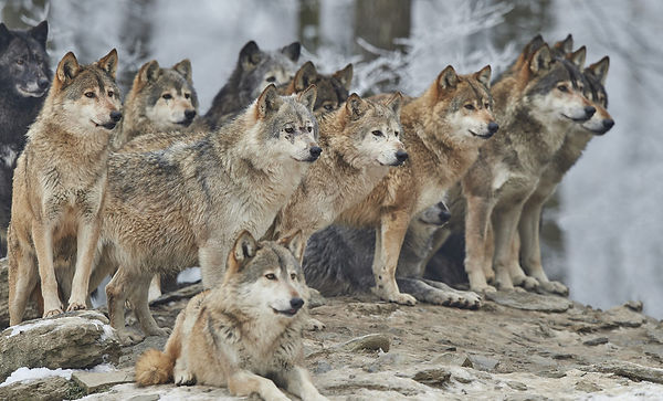 a-pack-of-wolves-1000x605.jpg