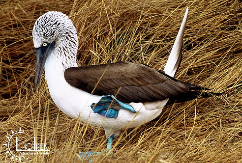 Blue-Footed Booby Galapagos