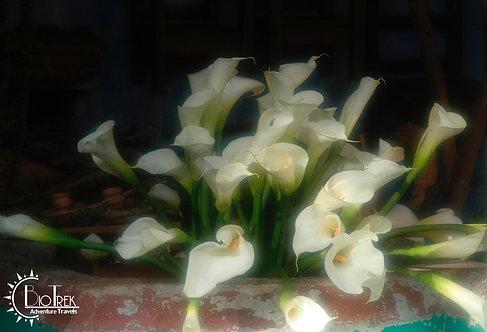 Guatemala Cala Lillies